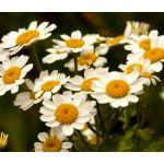 Feverfew Seeds - Tanacetum Parthenium