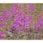 Fireweed Seeds - Epilobium Angustifolium