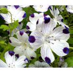 Five Spot Seeds - Nemophila Maculata