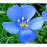 Flax Blue Annual Organic Seeds - Linum Usitatissimum