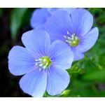 Flax Blue Perennial Seeds - Linum Perenne