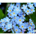 Forget Me Not Bulk Seeds - Myosotis Sylvatica