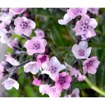 Forget Me Not Chinese Mystic Pink Seeds - Cynoglossum Amabile