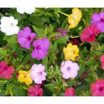 Four O'Clock Seeds - Mirabilis Jalapa
