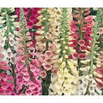 Foxglove Excelsior Mix Seeds - Digitalis Purpurea
