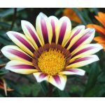 Gazania Garden Leader Rose Striped Seeds - Gazania Rigens