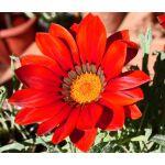 Gazania Kiss Frosty Red Seeds - Gazania Rigens