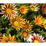 Gazania Logro Striped Mix Seeds - Gazania Rigens