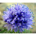 Globe Gilia Seeds - Gilia Capitata