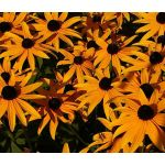 Daisy Gloriosa Seeds - Rudbeckia Hirta Sunset