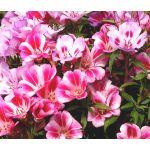 Godetia Farewell to Spring Seeds - Clarkia Amoena