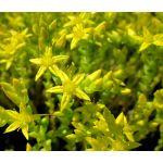 Goldmoss Stonecrop Seeds - Sedum Acre