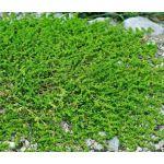Green Carpet Rupturewort Seeds - Herniaria Glabra