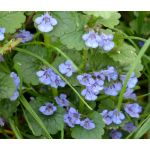 Ground Ivy Seeds - Glechoma Hederacea