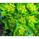 Hare's Ear Seeds - Bupleurum Rotundifolium Griffithii