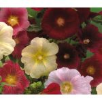 Hollyhock Indian Spring Single Mix Seeds - Alcea Rosea