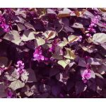 Hyacinth Bean Red Leaved Seeds - Lablab Purpureus