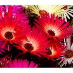 Ice Plant Gelato Bright Red Seeds - Dorotheanthus Bellidiformis