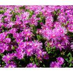 Ice Plant Pink Table Mountain Seeds - Delosperma Cooperi