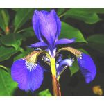 Iris Oregon Seeds - Iris Tenax