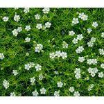 Irish Moss Pearlwort Seeds - Sagina Subulata