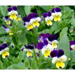 Johnny Jump Up Seeds - Viola Tricolor