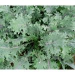 Kale Red Russian Seeds - Brassica Oleracea