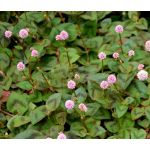 Knotweed Pink Punching Balls Seeds - Polygonum Capitatum