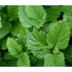 Lemon Balm Seeds - Melissa Officinalis