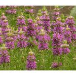 Lemon Mint Bee Balm Seeds - Monarda Citriodora