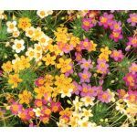 Leptosiphon French Hybrids Mix Seeds - Leptosiphon Hybrid