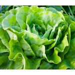 Lettuce Butterhead Buttercrunch Seeds - Lactuca Sativa