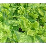 Lettuce Looseleaf Black Seeded Simpson Seeds - Lactuca Sativa