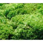 Lettuce Looseleaf Green Ice Seeds - Lactuca Sativa