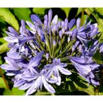 Lily of the Nile Seeds - Agapanthus Headbourne Hybrids