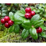 Lingonberry Seeds - Vaccinium Vitis-idaea