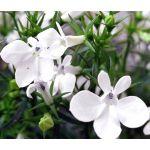 Lobelia White Lady Seeds - Lobelia Erinus