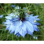 Love-In-A-Mist Jewels Mix Seeds - Nigella Damascena