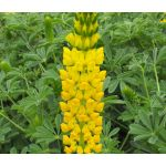 Lupine Golden Yellow  Seeds - Lupinus Densiflorus Aureus