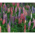 Lupine Russell Mix Seeds - Lupinus Polyphyllus Russell