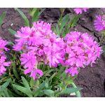 Lychnis Alpine Catchfly Seeds - Lychnis Alpina