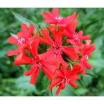 Maltese Cross Seeds - Lychnis Chalcedonica