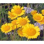 Marguerite Golden Seeds - Anthemis Sancti-Johannis