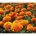 Marigold Crackerjack Mix Seeds - Tagetes Erecta