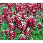 Maroon Red Texas Bluebonnet Bulk Seeds - Lupinus Texensis