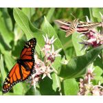 Milkweed Showy Seeds - Asclepias Speciosa