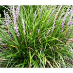 Monkey Grass Seeds - Liriope Muscari