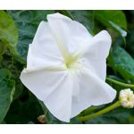 Moonflower Seeds - Ipomoea Alba
