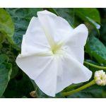 Moonflower Seeds - Ipomoea Alba
