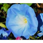Morning Glory Heavenly Blue Seeds - Ipomoea Tricolor